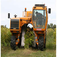 Cognac grape picking